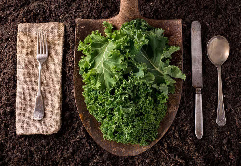 Berbagai Manfaat Daun Kale, Si Hijau yang Kaya Zat Gizi