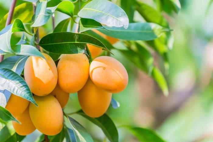 Kaya Antioksidan Alami, Ini 9 Manfaat Buah Gandaria
